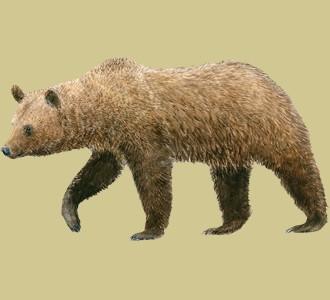 Accogli un animale di montagna di specie orso bruno