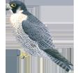 Falco peregrinus ##STADE## - manto 29